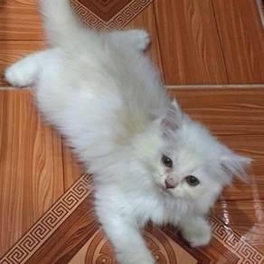 Kitten-parsian