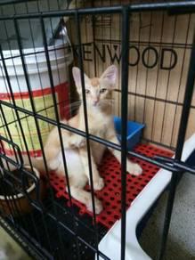 Kucing untuk dilepaskan.sangat manja dan aktif.