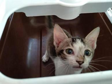 Kitten / Anak kucing for adoption + free gifts