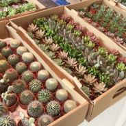 Whole sale catus and succulents