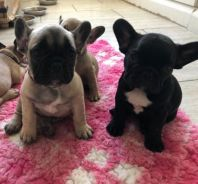 Ikc Registered French Bulldog Pups