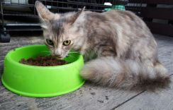 Kucing DLH Breed