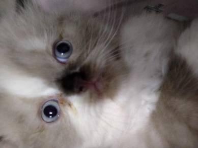 semi flat cat