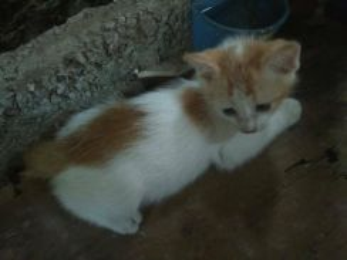 Cute American Mix Persian Kitten