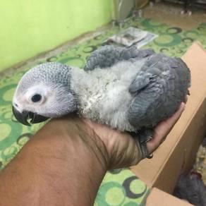 Congo African Grey baby