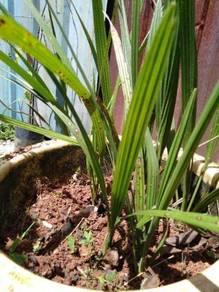 Dates plant,