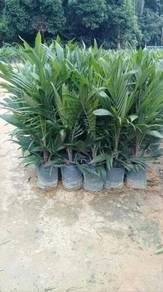 Anak benih kelapa sawit dxp