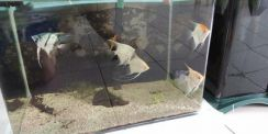 Assorted angelfish (5 adult female fish)