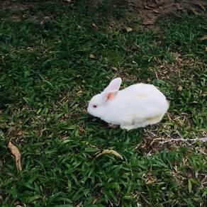 Rabbit white Arnab male