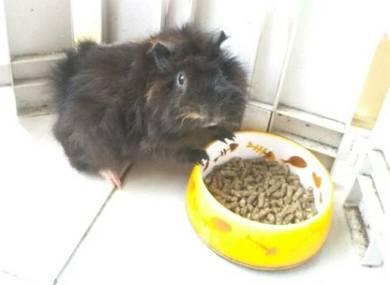 Guinea Pig si tikus belanda