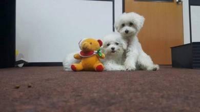Tiny poodle with mka