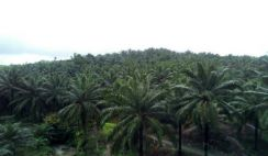 Planted Land for Sale - Paitan
