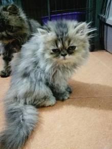 Pure Kitten Percian FF
