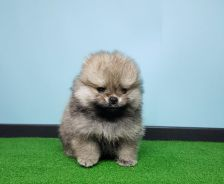Pomeranian Puppy with MKA