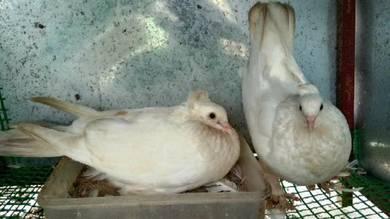 Mepati putih / white pigeon