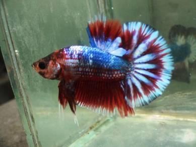 Big Caudal Multicolor Fancy HMPK Betta