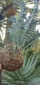 Quality Cycad seeds and plants for Sale