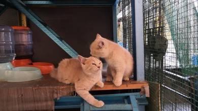 Anak kucing BSH MIX DLH