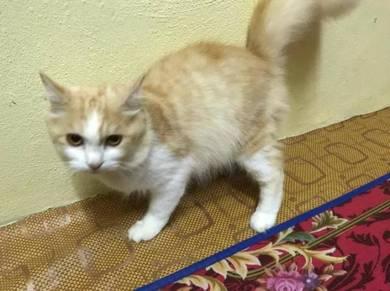 Kucing Parsian