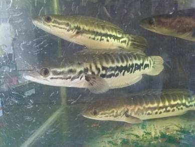 Ikan Tioman