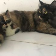 Female DHL cat with 1month Kitten