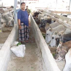 Lembu dari ladang