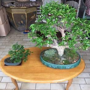 Nice n Lovely Bonsai for Sale