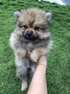 Super tiny Pomeranian puppy