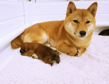 Shiba inu puppies with MKA