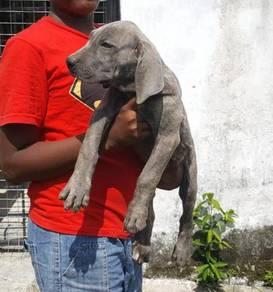 Brazilian mastiff puppy