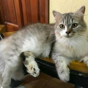 Kucing baka cantik