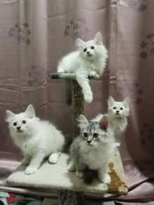 Mix Kitten (Mainecoon & Persian)