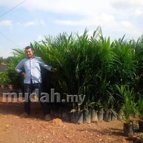 Benih Kelapa Sawit FELDA DxP Yangambi ML161