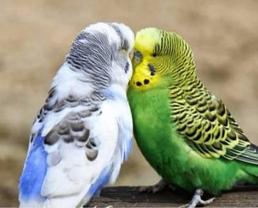Burung Baji