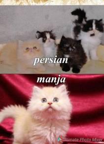 Persian kitten manja
