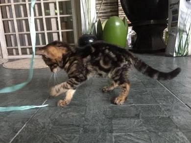 Kucing bengal marble