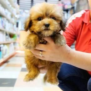 Adorable Female Maltese mix Poodle pups