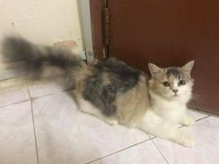 Baby Mix Persian Kitten for sell (grow up fluffy)