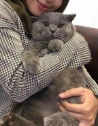 Mating British Shorthair For ALL FEMALE BREEDS