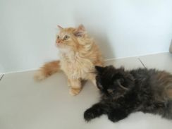 Persian Kittens 3 Months Old