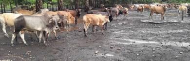 Kambing / Lembu Murah Korban Akikah