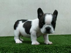 Black & White French Bulldog Male Puppy