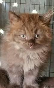 Anak Kucing Kitten Parsi DLH