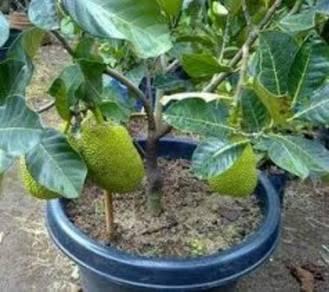 Anak pokok Nangka Suria thai