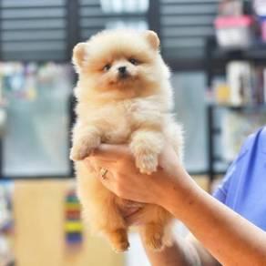 Quality Cream Female Pomeranian pup