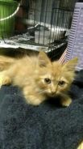 Kucing parsi.baru 3 bulan untuk di lepaskan.