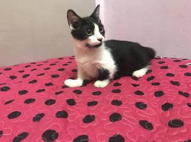 Kucing munchkin bulu pendek kaki pendek