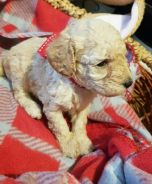 Toy poodle with mka