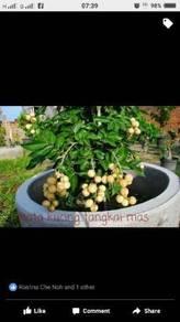 Anak pokok Mata kucing Tangkal Mas
