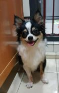 PROMOTION PRICE Tri Color Longhair Male Chihuahua